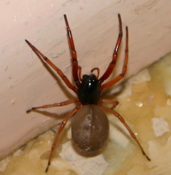 Sac Spider - Trachelas tranquillus