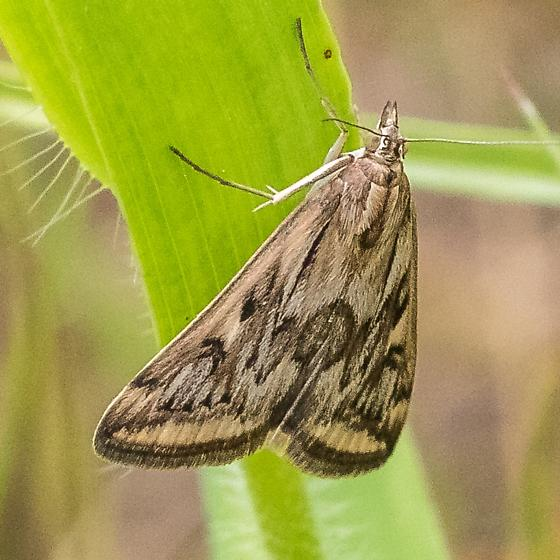 Moth in grassy prairie - Loxostege cereralis