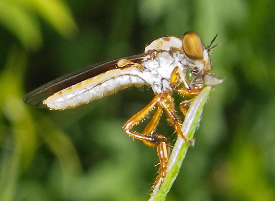 Robber Fly - Holcocephala sp. - Holcocephala abdominalis
