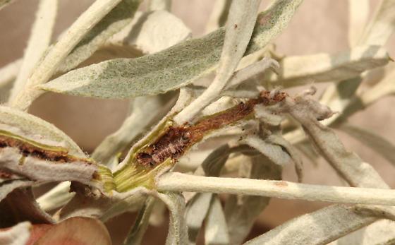 Coleoptera larva