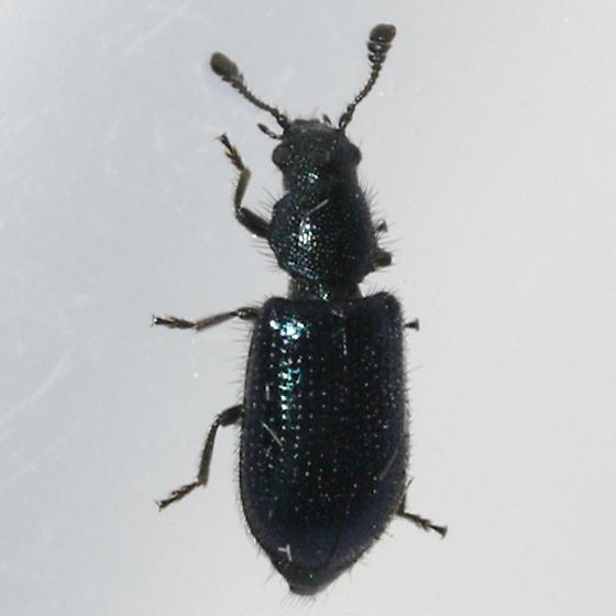 beetle - Necrobia violacea