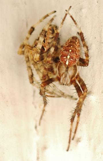 Mature male staying with immature female - Araneus diadematus - male - female