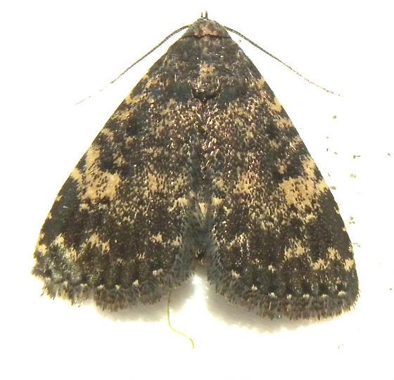 Probable Diabolical Fungus Moth Hodges#8503