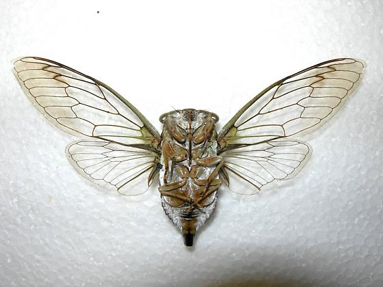 Tibicen pruinosus (verso) - Neotibicen pruinosus - male