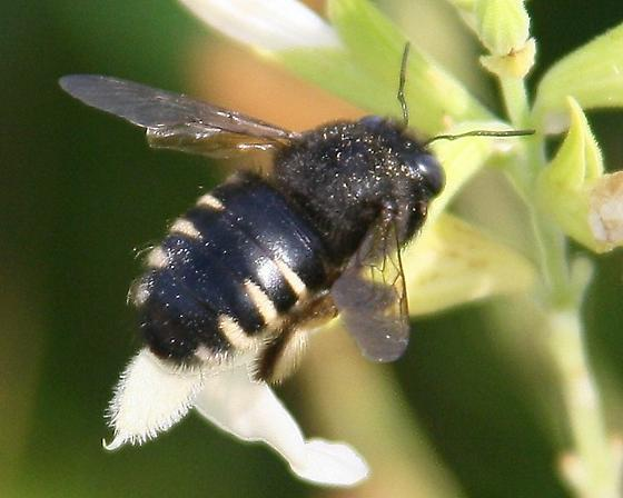 Fairly large bee with black and pale yellow stripes backend - Xylocopa tabaniformis