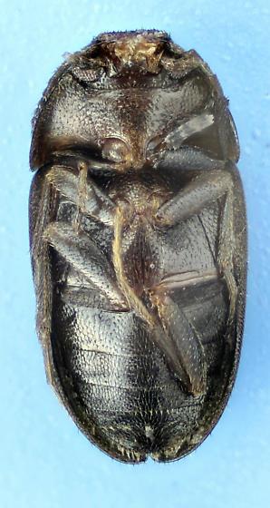 Litargus sexpunctatus