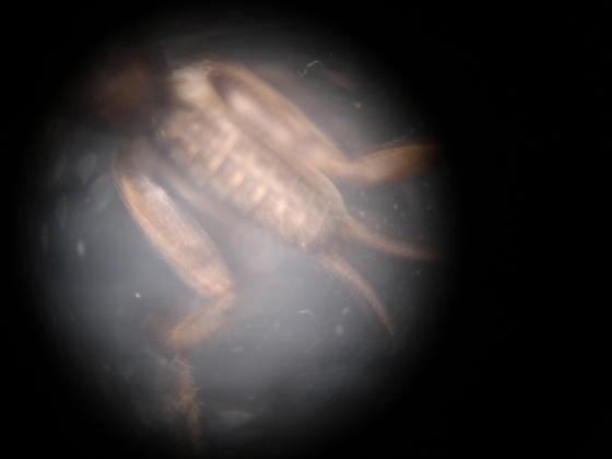 found digging in the sand - Neoscapteriscus abbreviatus