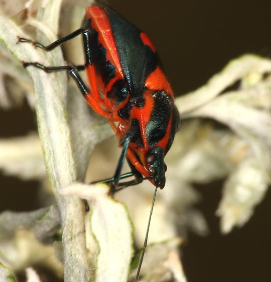 Red and black bug - Euthyrhynchus floridanus