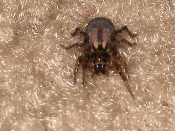 The Burrowing Carpet Spider??? - Allocosa