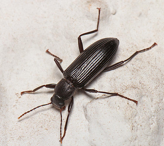 Darkling Beetle - Strongylium
