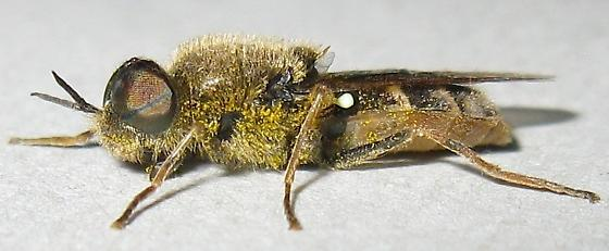 Soldier fly - Odontomyia
