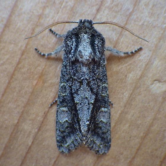 Noctuidae: Copivaleria grotei - Copivaleria grotei