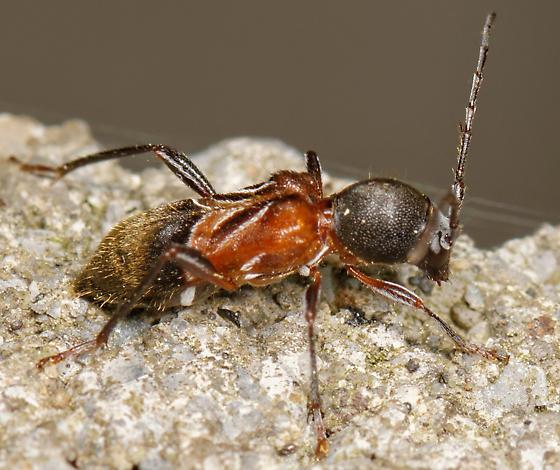 long-horned beetle - Cyrtophorus verrucosus