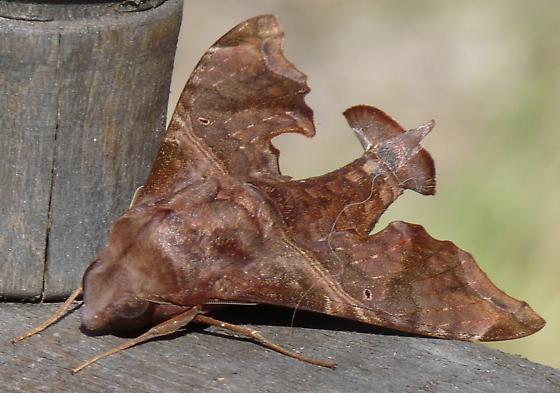 (fan tailed) sphinx - Enyo lugubris - male