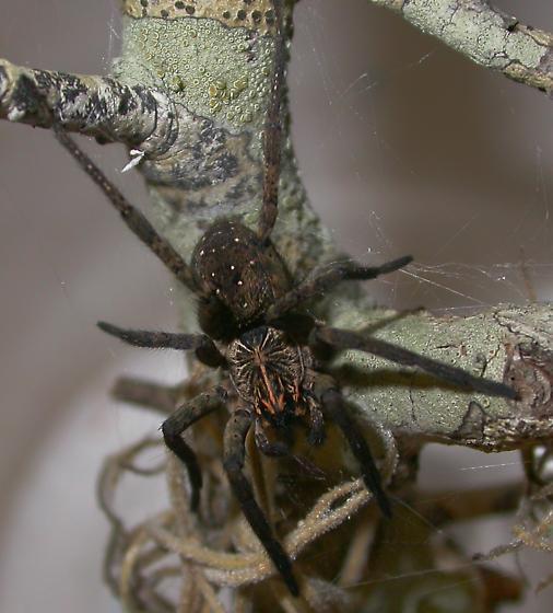 Sosippus mimus - male