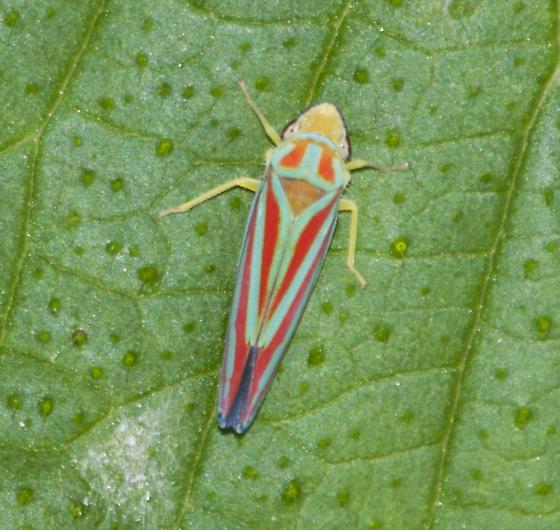 Graphocephala.. red-banded? - Graphocephala