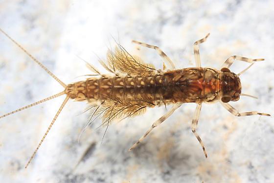 Leptophlebia intermedia? - Leptophlebia intermedia