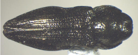 Taphrocerus - Aphanisticus cochinchinae