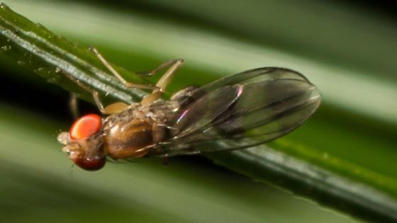 Small Fly - Chymomyza amoena
