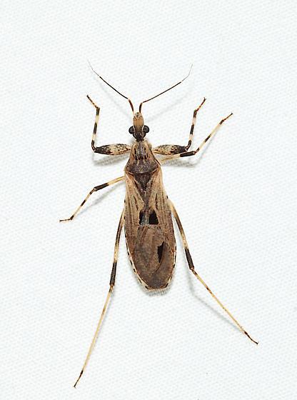 Oncocephalus geniculatus