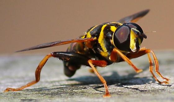 Syrphidae? - Meromacrus acutus