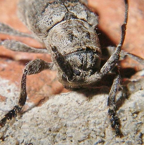 A flat face longhorn. ID, please - Ecyrus dasycerus