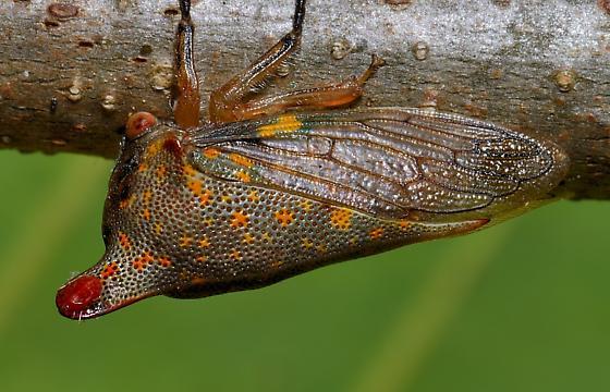 Red Mite on Oak Treehopper - Platycotis vittata