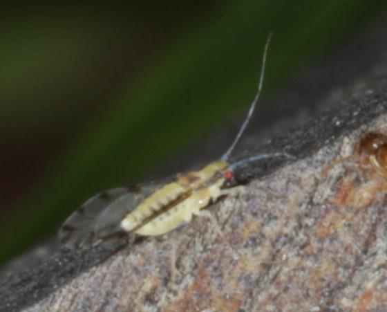 Aphid walking on wood