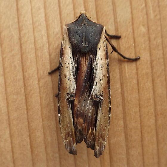 Noctuidae: Xylena nupera - Xylena nupera