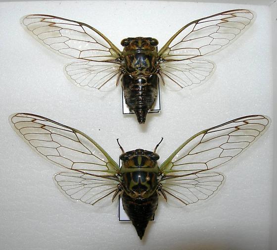 Tibicen linnei (PAIR) - Neotibicen linnei - male - female