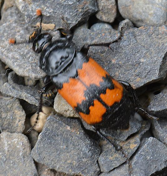 lg black and red beetle - Nicrophorus