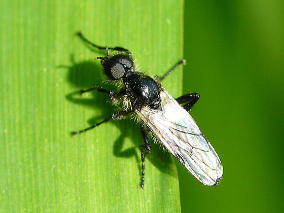 Unknown Fly - Bibio albipennis - male