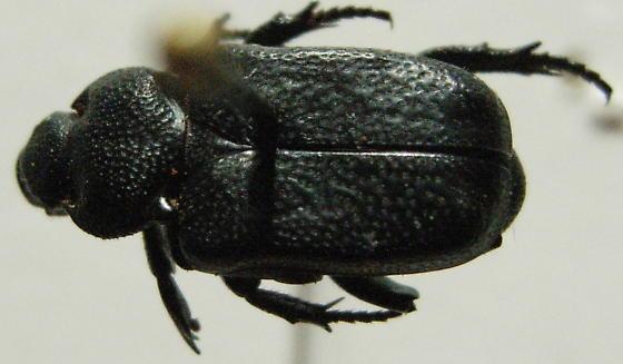 cremastocheilus species #1 - Cremastocheilus angularis