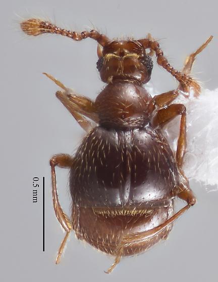 Anchylarthron caviceps - male