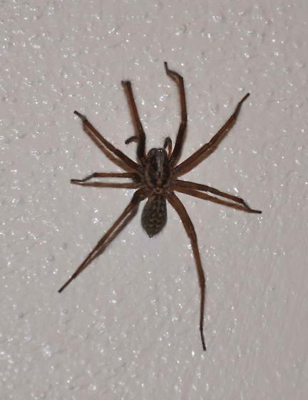 basement spider eratigena atrica bugguide net