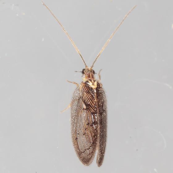Lacewing or Spongillafly? - Sympherobius