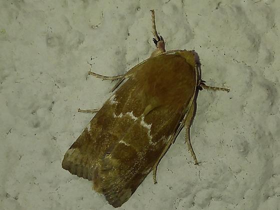 Schinia thoreaui? - Thoreau's Flower Moth? - Schinia mortua