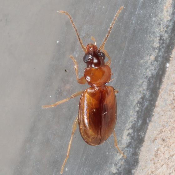 Tiny beetle - Tachys scitulus