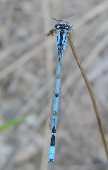 Blue damselfly - Enallagma civile - male