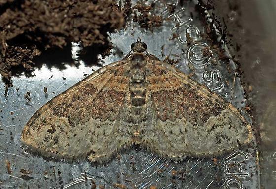diurnal moth - Xanthorhoe ferrugata - male