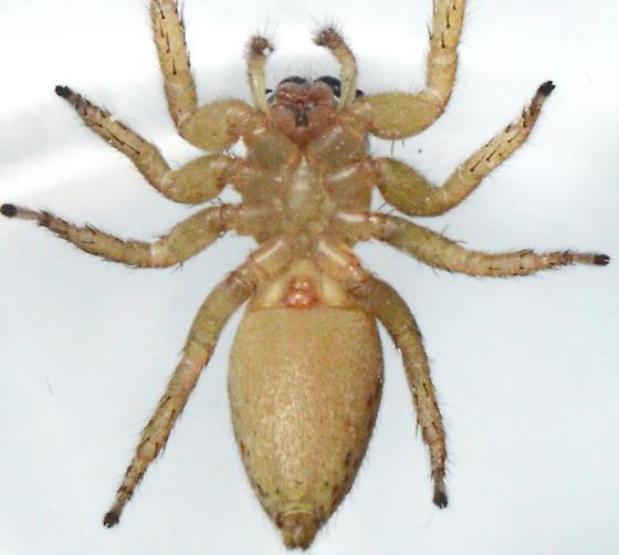 Maevia poultoni - Paramaevia poultoni - female