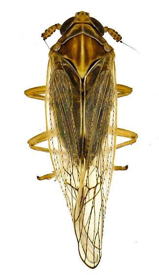 Delphacinae - Nothodelphax
