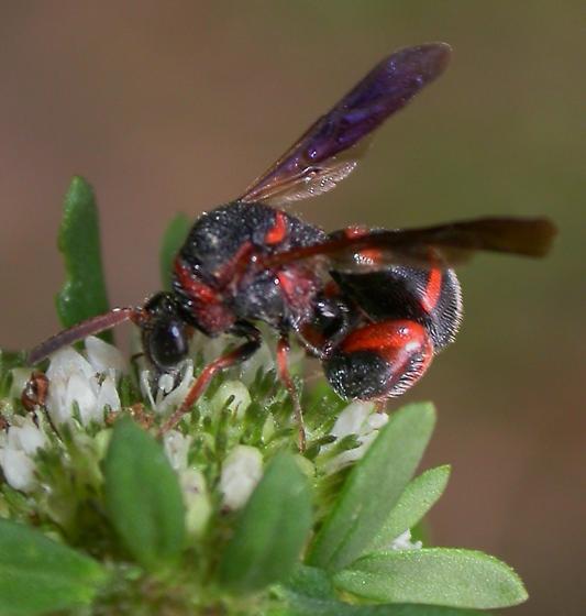 Chalcid Wasp? - Leucospis slossonae