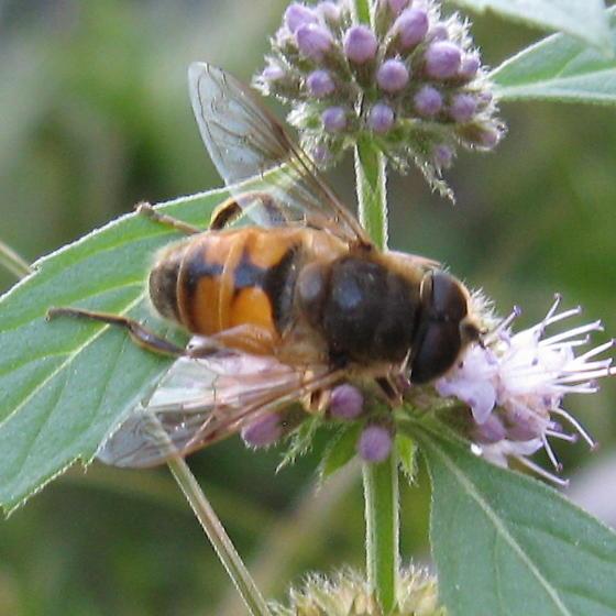 Syrphidae 9.02.09 01 - Eristalis tenax