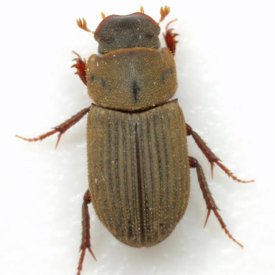 Ataenius imbricatus (Melsheimer) - Ataenius imbricatus