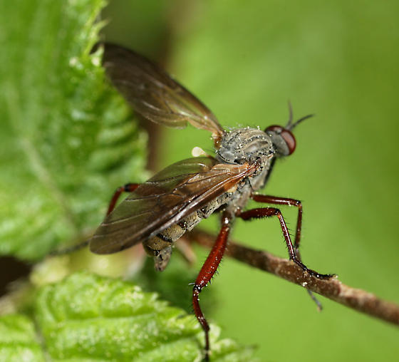 Dance Fly - Empis spectabilis - male