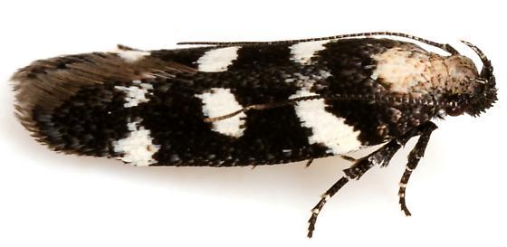 Filatima arizonella? - Filatima arizonella