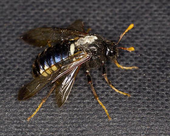 ID needed - Cimbex americanus