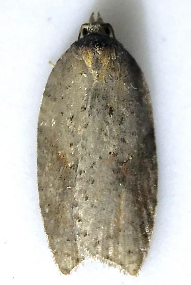 Acleris schalleriana - Acleris viburnana - female