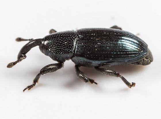 Weevil - Aulacobaris lepidii